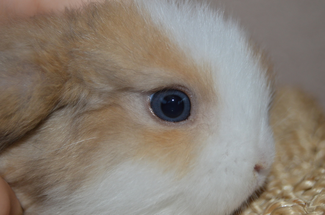 Info The Holland Lop Haven